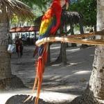 Costa Rican Parrot, Central America, December 2013, Photo by Demetrios Kastaris.