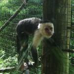 Costa Rican Monkey, Central America, December 2013, Photo by Demetrios Kastaris.
