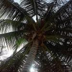 Puerto Rico, Palm tree, July, 2015, photo credit, Demetrios Kastaris.
