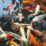 Puerto Rico, pool of goldfish, July, 2015, photo credit, Demetrios Kastaris.